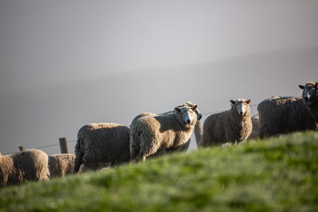 Carrfields Primary Wool Co-Operative and Wools of New Zealand commit to work together to rejuvenate New Zealand's strong wool sector  - Carrfields Primary Wool Limited