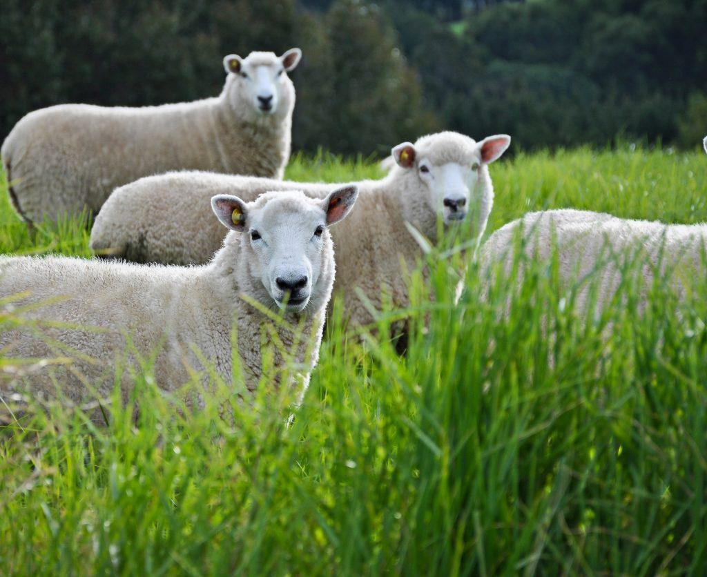 Carrfields Wool Industry Merger Vote - Carrfields Primary Wool Limited